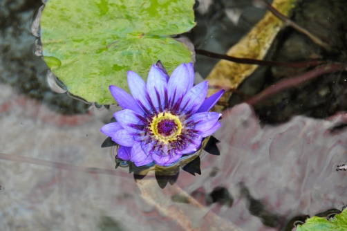 Lotus at Getty Villa