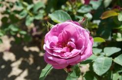 pink rose at Petroni Winery