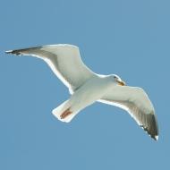 Seagull over Alcatraz ferry
